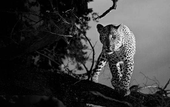 , Nocturnus par Shaun Walton Photographie : Saisissants Félins d'Afrique
