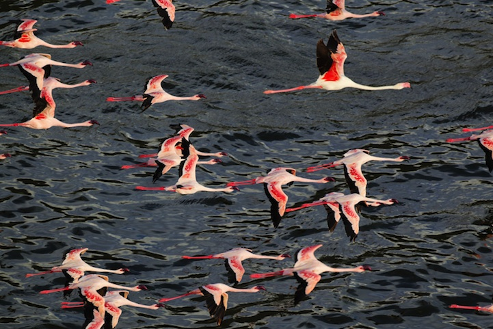 , Martin Harvey Photographie : Ballet de Flamants Roses au Kenya