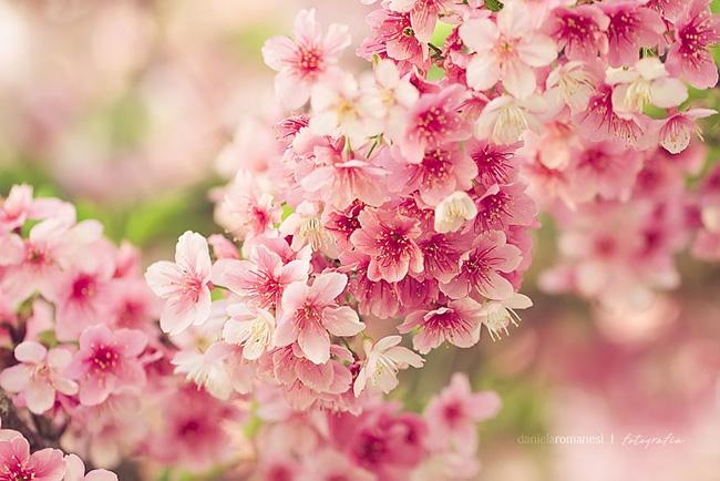 , Japon Des Cerisiers en Fleurs pour un Joli Printemps