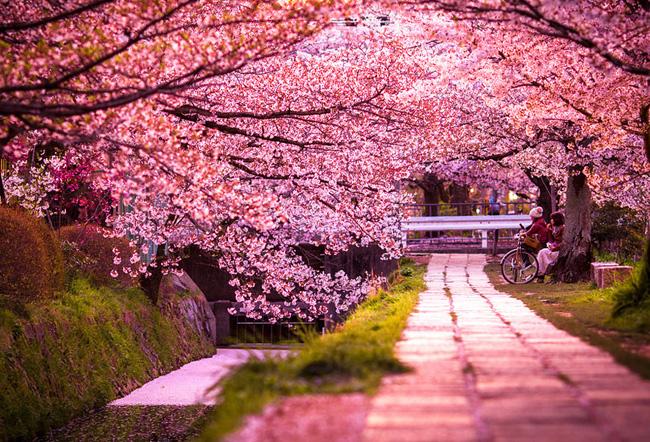 japon des cerisiers en fleurs pour un joli printemps - maxitendance