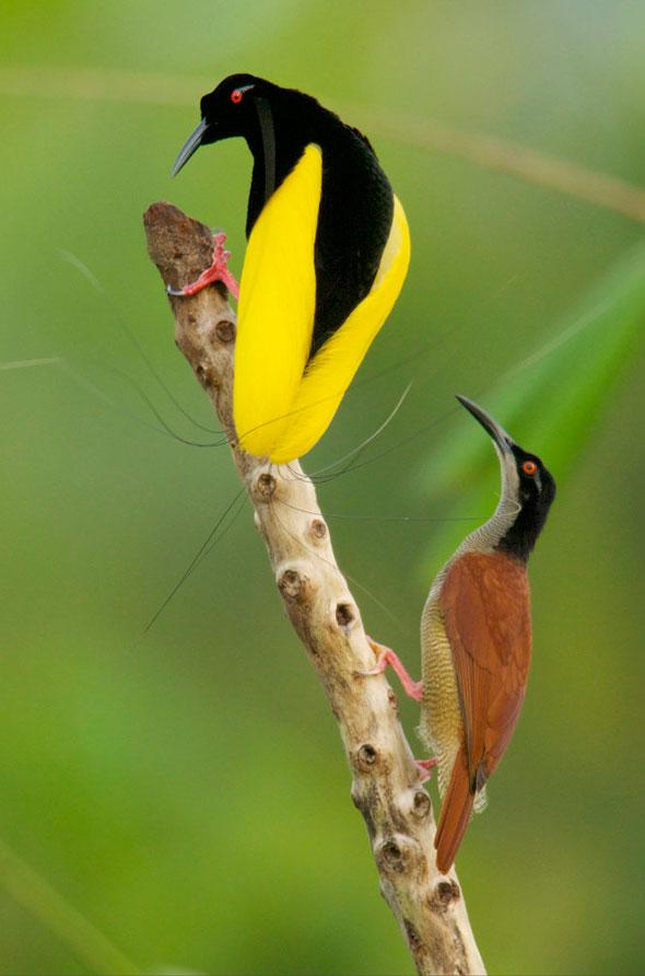 1-Tim-Laman-Birds-Paradise-Project-Oiseaux-Paradis