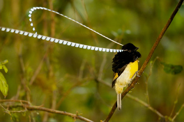 11-Tim-Laman-Birds-Paradise-Project-Oiseaux-Paradis