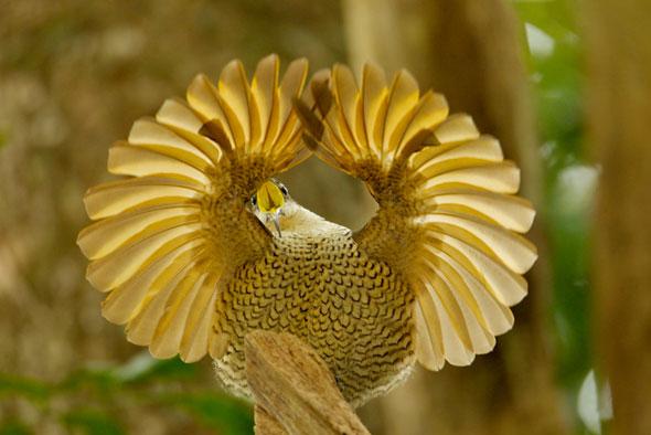 , Photographie par Tim Laman : 18 Rares Oiseaux du Paradis (Images et Vidéo)