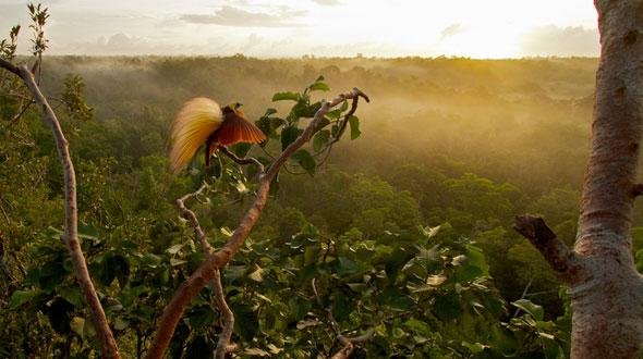 13-Tim-Laman-Birds-Paradise-Project-Oiseaux-Paradis