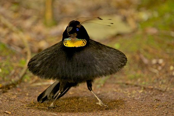 14-Tim-Laman-Birds-Paradise-Project-Oiseaux-Paradis