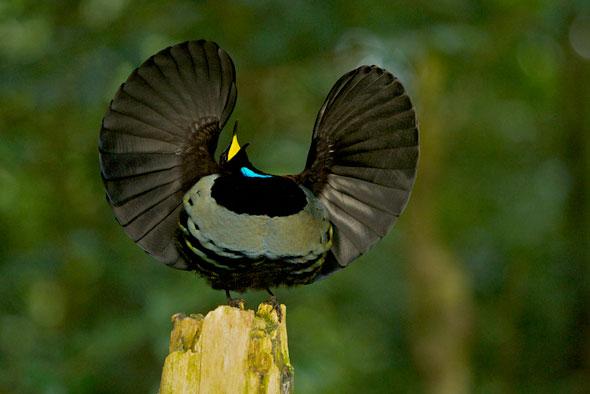 16-Tim-Laman-Birds-Paradise-Project-Oiseaux-Paradis