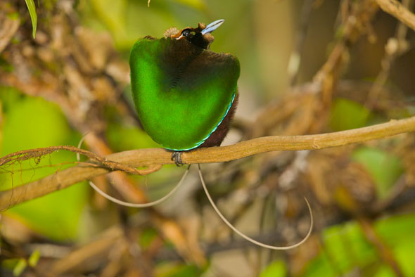 17-Tim-Laman-Birds-Paradise-Project-Oiseaux-Paradis