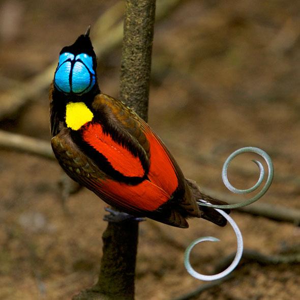 DROLE D'OISEAU 18-Tim-Laman-Birds-Paradise-Project-Oiseaux-Paradis