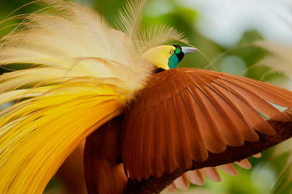 2-Tim-Laman-Birds-Paradise-Project-Oiseaux-Paradis