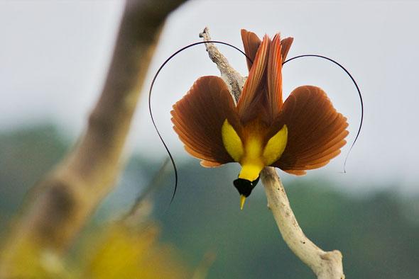 3-Tim-Laman-Birds-Paradise-Project-Oiseaux-Paradis