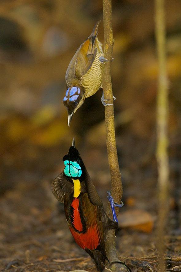 4-Tim-Laman-Birds-Paradise-Project-Oiseaux-Paradis
