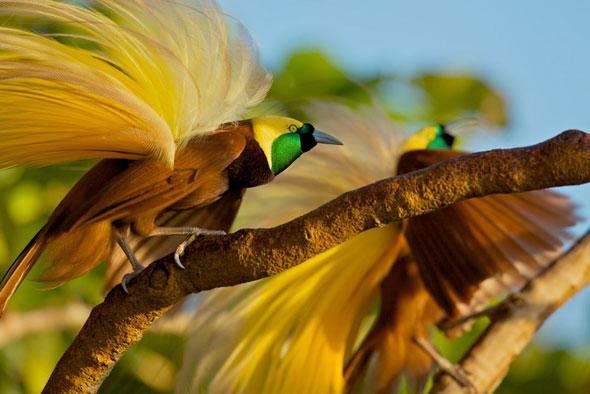 5-Tim-Laman-Birds-Paradise-Project-Oiseaux-Paradis