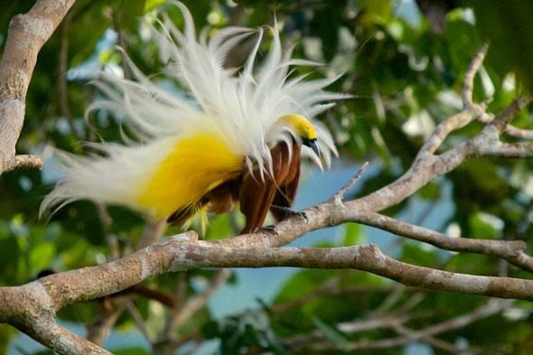 6-Tim-Laman-Birds-Paradise-Project-Oiseaux-Paradis