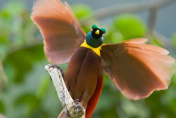 7-Tim-Laman-Birds-Paradise-Project-Oiseaux-Paradis