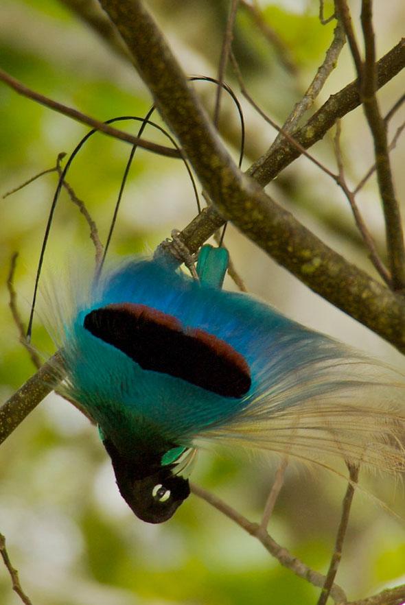 8-Tim-Laman-Birds-Paradise-Project-Oiseaux-Paradis