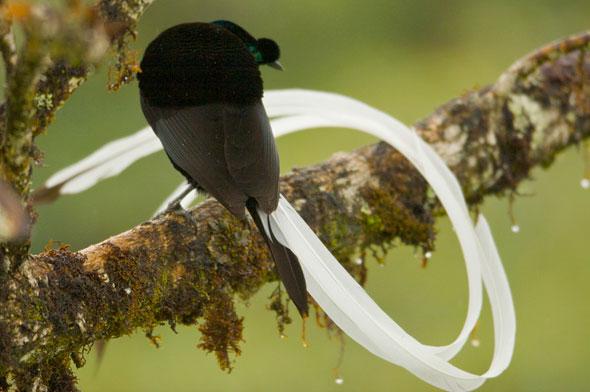 9-Tim-Laman-Birds-Paradise-Project-Oiseaux-Paradis