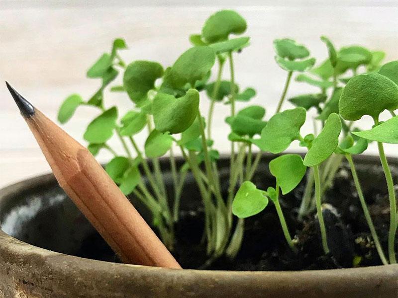 Crayons couleur Sprout, Sprout, Crayons de Couleur à Planter avec Graines de Menthe et Basilic (video)