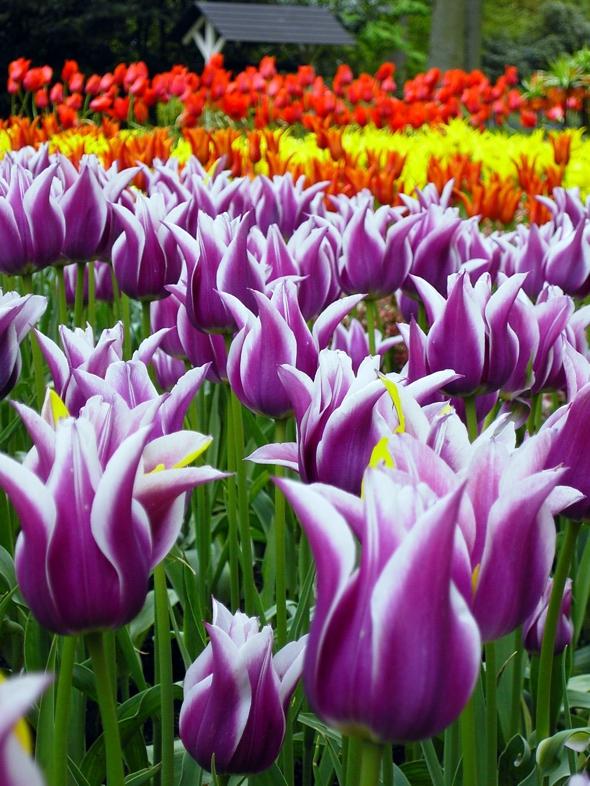 , Keukenhof Pays-Bas : Le plus grand Jardin de Fleurs de Printemps au Monde