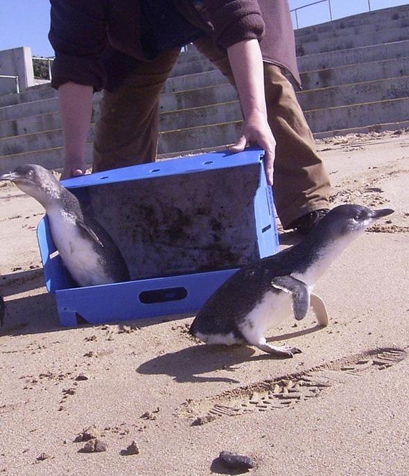 Australie-Pulls-Sauver-Pingouin-Manchots-Tricot-5