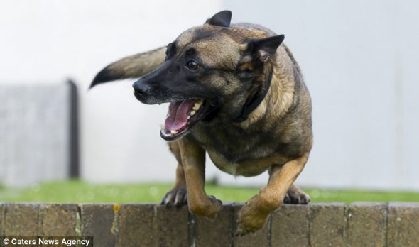 angie-mcdonnell-chien-malinois-militaire-sauvetage-00
