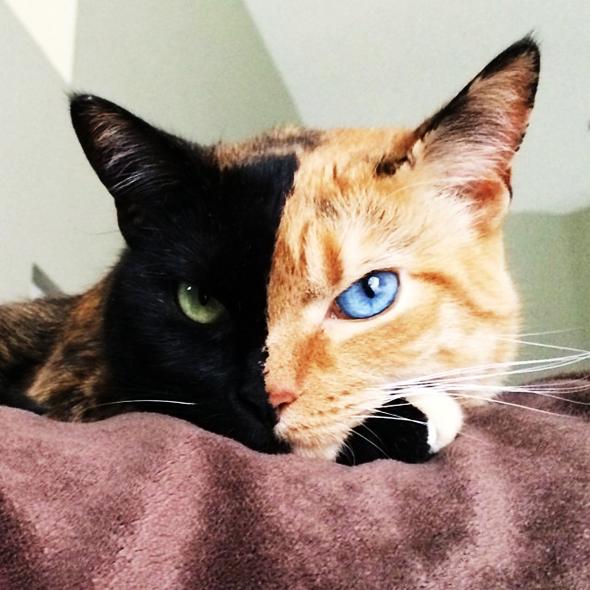 venus chat chimere deux visages, Venus, l'Incroyable Chat «Chimere» aux Deux Visages