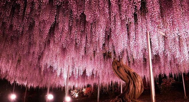 japon-fleurs-clycine-arbre-centenaire-1