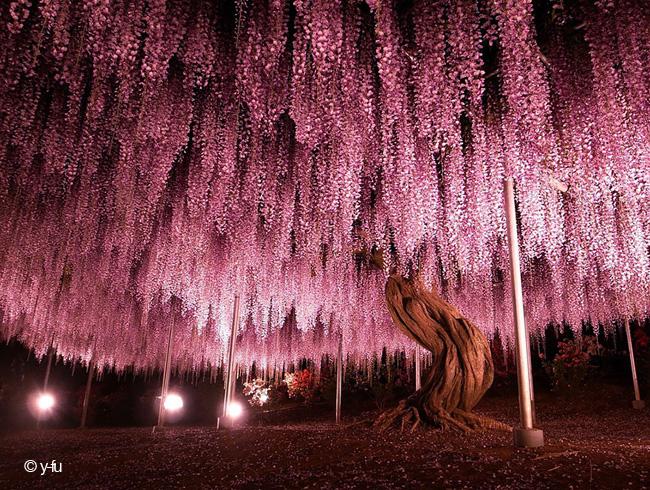 japon fleurs clycine arbre centenaire 1 - Arbre Glycine de 144 ans Couvre de fleurs le Ciel au Japon