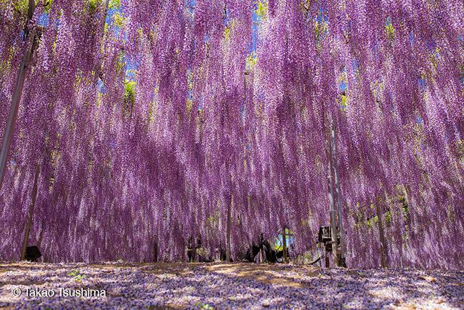 japon fleurs clycine arbre centenaire 10 - Arbre Glycine de 144 ans Couvre de fleurs le Ciel au Japon