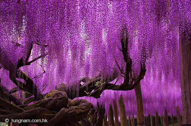 japon fleurs clycine arbre centenaire 2 - Arbre Glycine de 144 ans Couvre de fleurs le Ciel au Japon