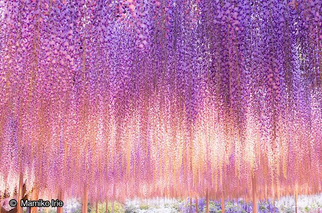 japon fleurs clycine arbre centenaire 3 - Arbre Glycine de 144 ans Couvre de fleurs le Ciel au Japon