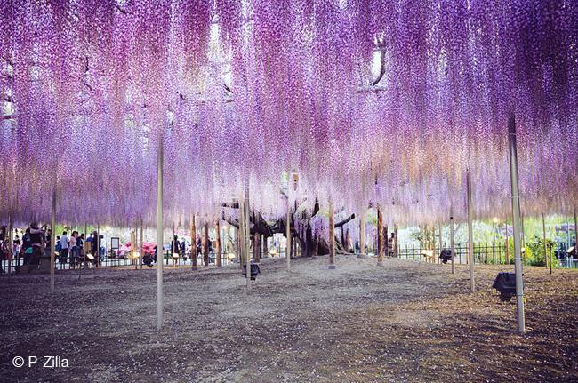 japon fleurs clycine arbre centenaire 4 - Arbre Glycine de 144 ans Couvre de fleurs le Ciel au Japon