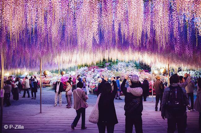 japon fleurs clycine arbre centenaire 5 - Arbre Glycine de 144 ans Couvre de fleurs le Ciel au Japon