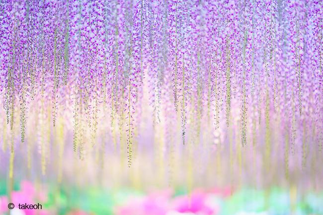 japon fleurs clycine arbre centenaire 7 - Arbre Glycine de 144 ans Couvre de fleurs le Ciel au Japon