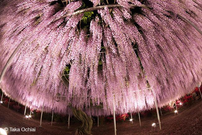 japon fleurs clycine arbre centenaire 8 - Arbre Glycine de 144 ans Couvre de fleurs le Ciel au Japon