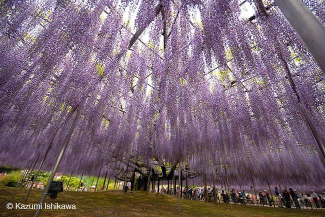 japon fleurs clycine arbre centenaire 9 - Arbre Glycine de 144 ans Couvre de fleurs le Ciel au Japon