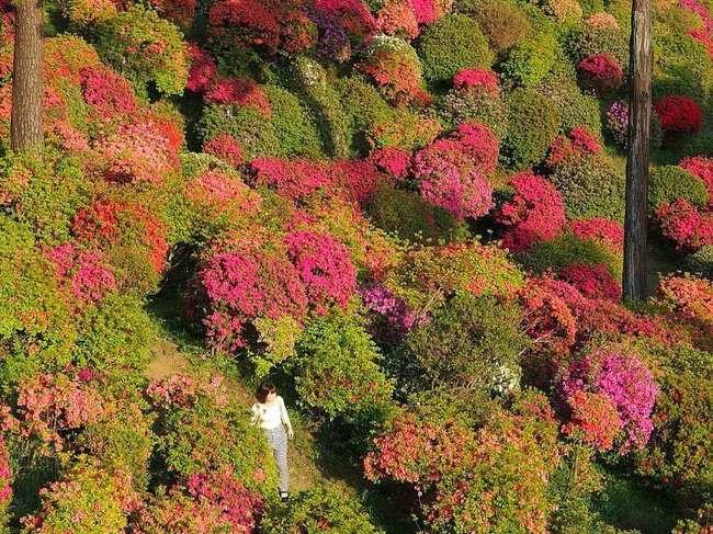 , Foret d'Azalées aux Couleurs Eclatantes de Shiofune Kannon-Ji au Japon