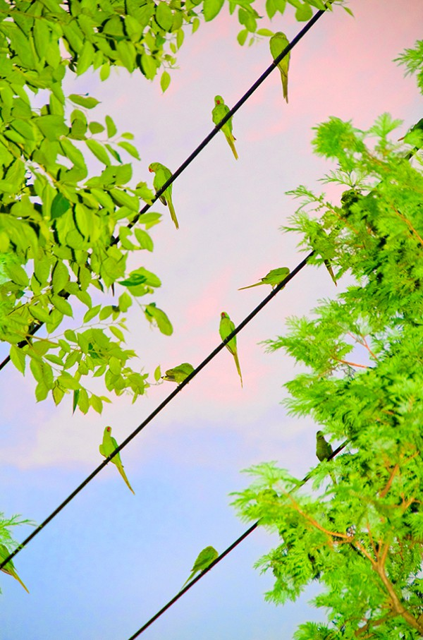 , Fascinante Invasion Urbaine de Perruches dans le Ciel de Tokyo
