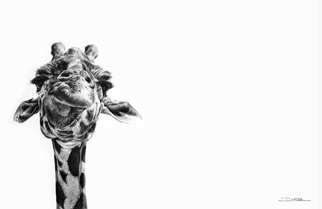 david filer dessin crayon afrique animaux sauvages 7 - Avec ses Crayons, David Filer Illustre avec Réalisme la Vie Sauvage en Afrique