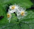 diphylleia-grayi-fleur-petale-transparente-eau-7