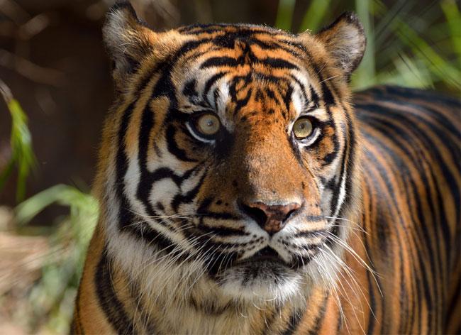 , Sauver les 3200 Derniers Tigres avec ces Elegants Portefeuilles