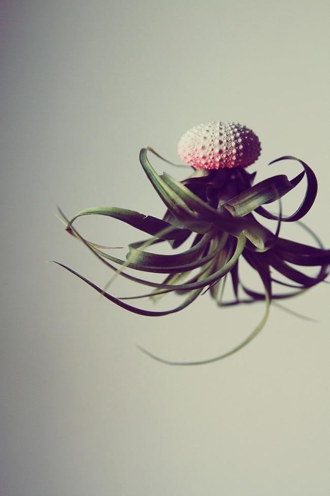 Méduses Plantes, Ces Plantes Aériennes Ressemblent à des Méduses