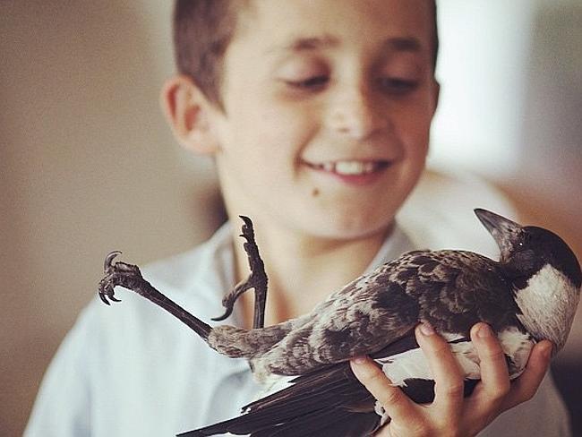 , Sauvée in Extremis, cette Pie Vit Libre et Heureuse dans une Famille Australienne