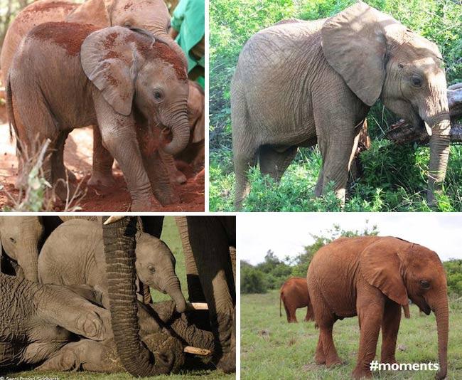 , Ils Sauvent les Bébés Eléphants et les Réhabilitent dans leur Milieu Naturel