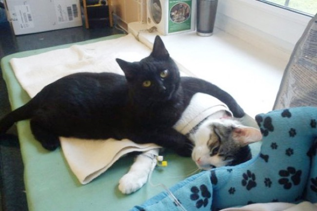 , Ce Chat Noir Miraculé Soigne les Animaux Convalescents dans un Refuge