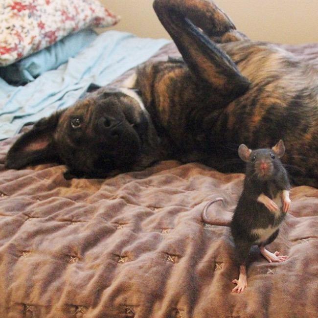 , Riff, un Adorable Rat et son Meilleur Ami un Berger Hollandais