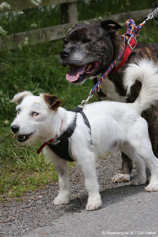 , Aveugle ce Jack Russel Terrier ne Quitte Jamais son Ami et Chien Guide (video)