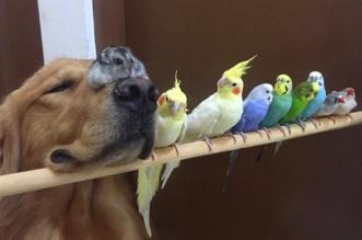bob-golden-retriever-perroquets-hamster-amis-sao-paulo-16