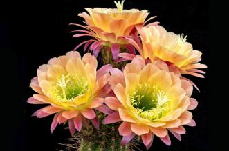 cactus-flowers-greg-krehel-1