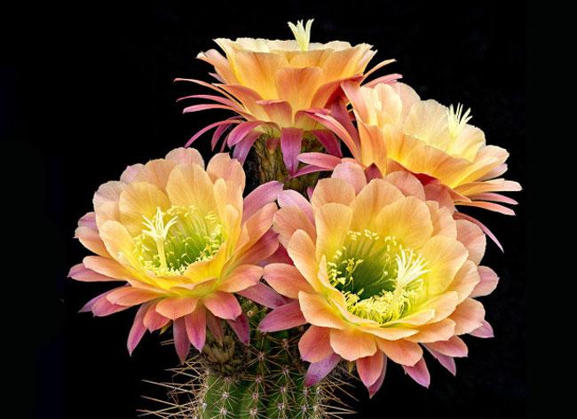 cactus flowers greg krehel 1 - Eclosion de Fleurs de Cactus dans un Fascinant Time Lapse (Video)