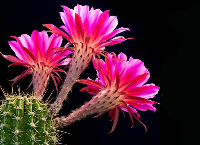 cactus flowers greg krehel 2 - Eclosion de Fleurs de Cactus dans un Fascinant Time Lapse (Video)